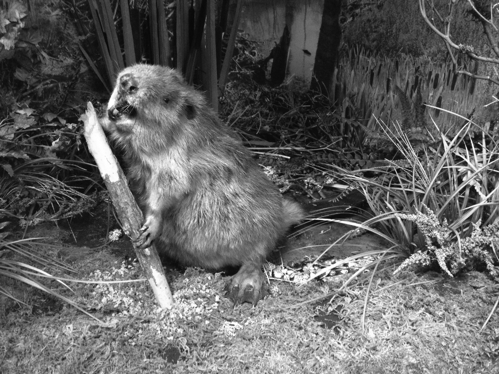 Beaver Exhibit at Beaverton History Center (bw)
